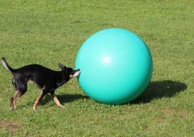 Treibball auch ältere Hunde