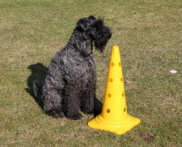 Treibball - Übung Anker - Hund sitzt hinter einer Pylone